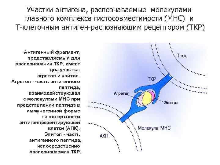 Участки антигена, распознаваемые молекулами главного комплекса гистосовместимости (МНС) и Т-клеточным антиген-распознающим рецептором (ТКР) Антигенный