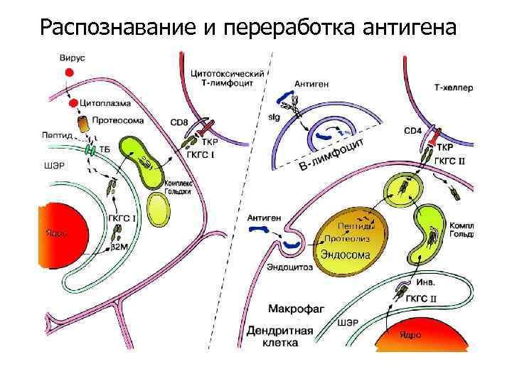 Распознавание и переработка антигена