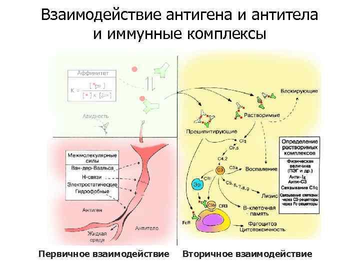 Взаимодействие антигена и антитела и иммунные комплексы Первичное взаимодействие Вторичное взаимодействие
