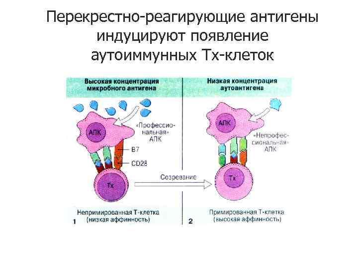 Перекрестно-реагирующие антигены индуцируют появление аутоиммунных Тх-клеток