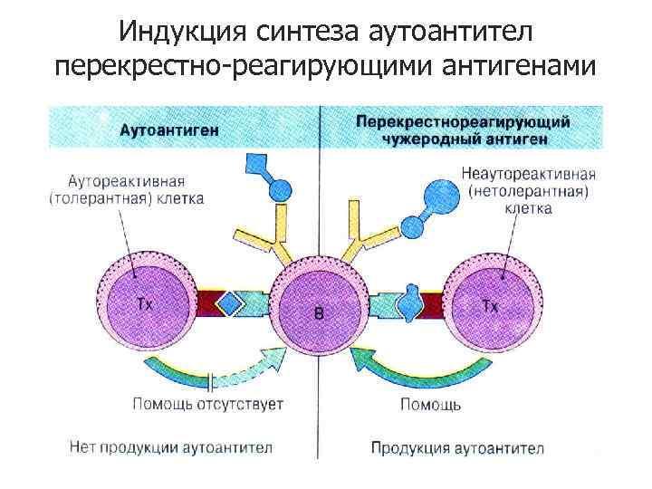 Индукция синтеза аутоантител перекрестно-реагирующими антигенами