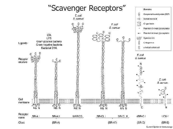 """Scavenger Receptors"""