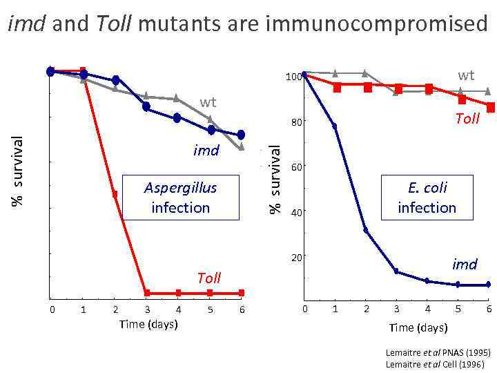 imd and Toll mutants are immunocompromised 100 wt 80 Toll % survival wt %