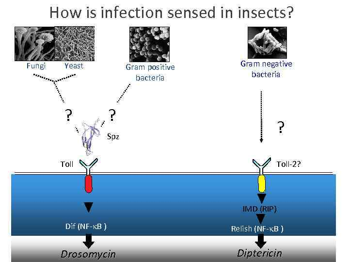 How is infection sensed in insects? Fungi Yeast ? Gram positive bacteria Gram negative
