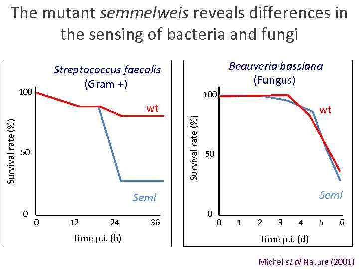 The mutant semmelweis reveals differences in the sensing of bacteria and fungi Beauveria bassiana