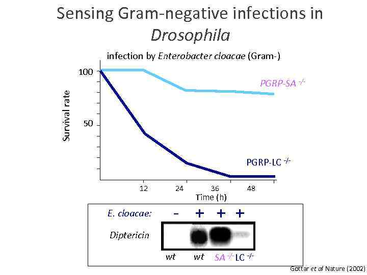 Sensing Gram-negative infections in Drosophila infection by Enterobacter cloacae (Gram-) Survival rate 100 PGRP-SA