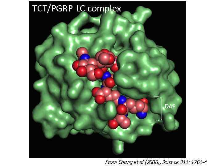 TCT/PGRP-LC complex DAP From Chang et al (2006), Science 311: 1761 -4