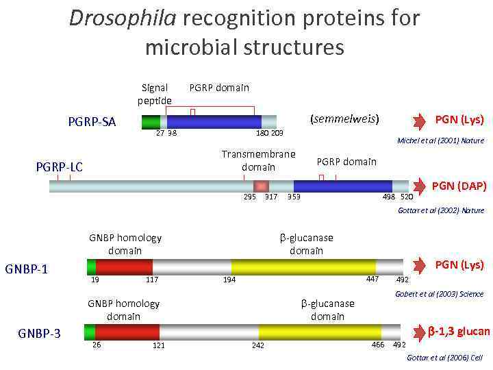Drosophila recognition proteins for microbial structures Signal peptide PGRP-SA PGRP domain (semmelweis) 27 38