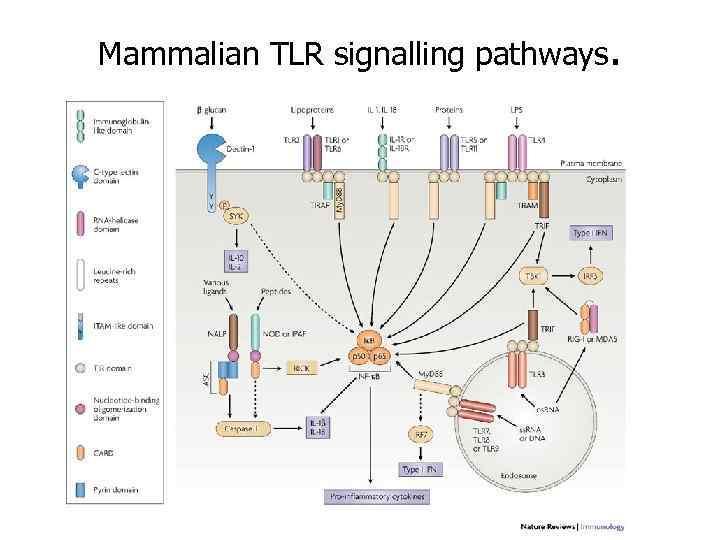 Mammalian TLR signalling pathways.