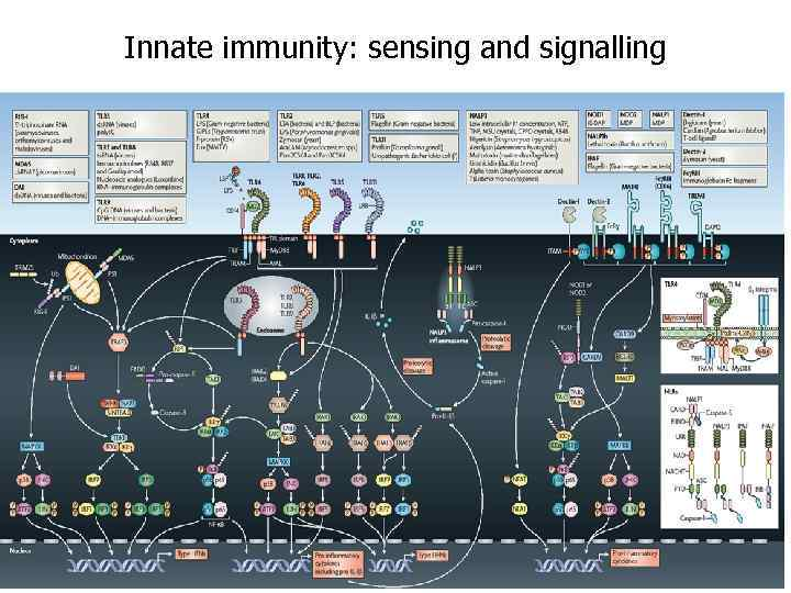 Innate immunity: sensing and signalling