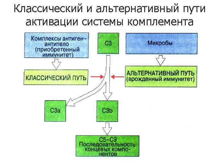 Классический и альтернативный пути активации системы комплемента