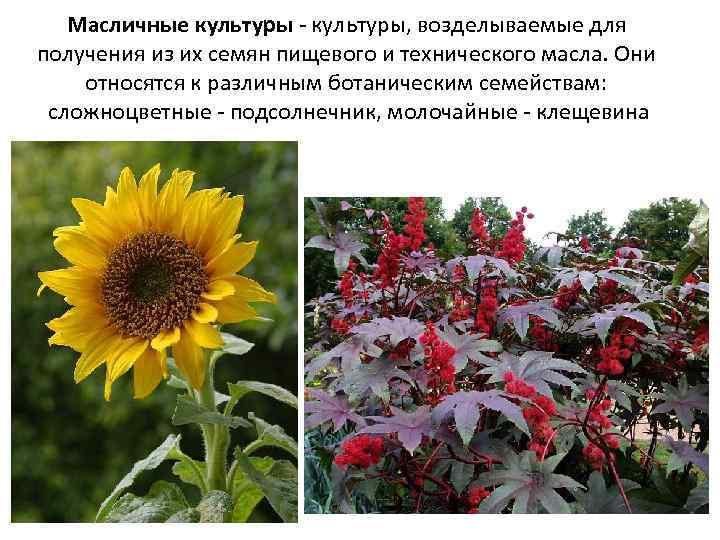 масличные растения фото и названия умолчанию