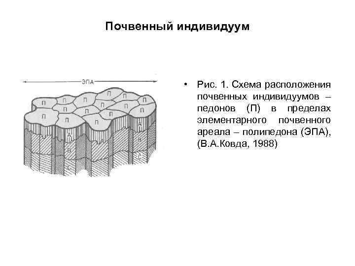 Почвенный индивидуум • Рис. 1. Схема расположения почвенных индивидуумов – педонов (П) в пределах