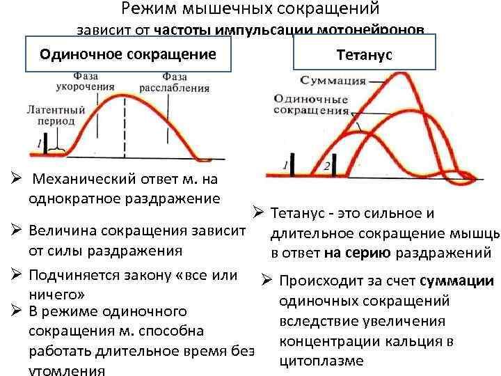 мышц график одиночного сокращения