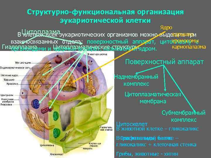 Шпаргалка.структурно функциональная организация эукариотической клетки