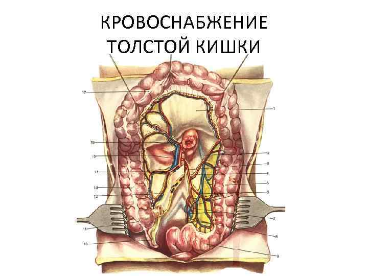 Anatomy large bowel