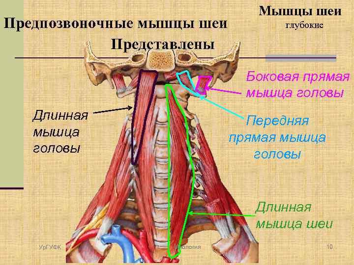 Миология Часть 4 Ур ГУФК Глубокие мышцы шеи
