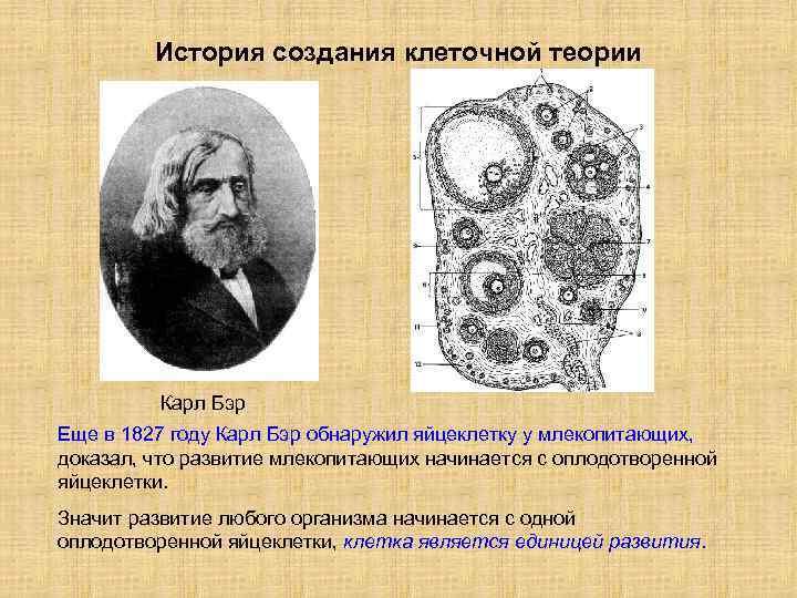 История создания клеточной теории Карл Бэр Еще в 1827 году Карл Бэр обнаружил яйцеклетку