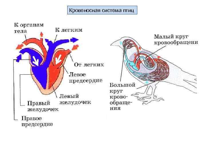 типичный картинки строения сердца птицы любой организации