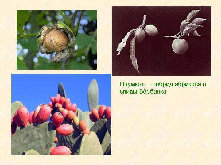 Плумкот — гибрид абрикоса и сливы Бёрбанка