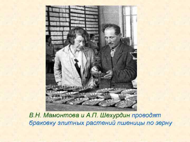 В. Н. Мамонтова и А. П. Шехурдин проводят браковку элитных растений пшеницы по зерну