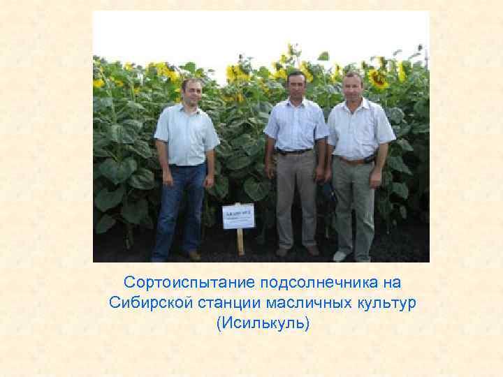 Сортоиспытание подсолнечника на Сибирской станции масличных культур (Исилькуль)
