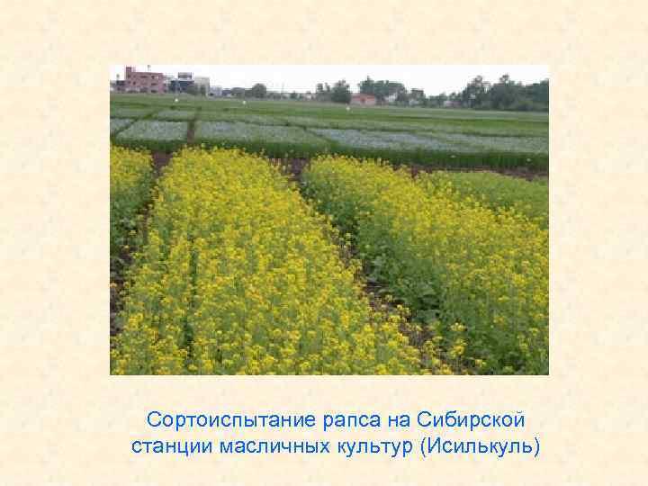 Сортоиспытание рапса на Сибирской станции масличных культур (Исилькуль)