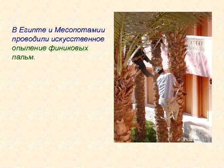 В Египте и Месопотамии проводили искусственное опыление финиковых пальм.