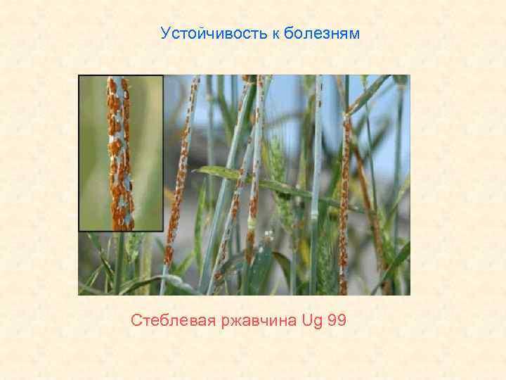 Устойчивость к болезням Стеблевая ржавчина Ug 99