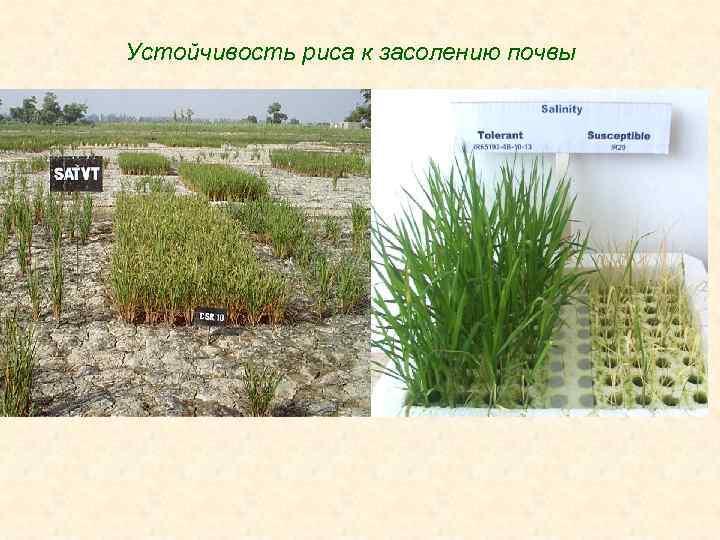 Устойчивость риса к засолению почвы