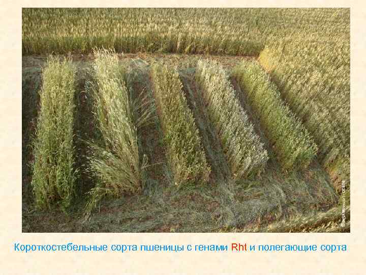 Короткостебельные сорта пшеницы с генами Rht и полегающие сорта