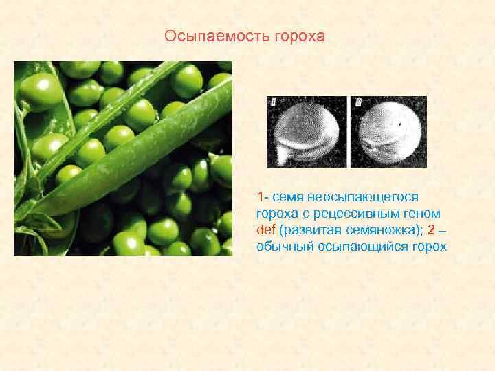 Осыпаемость гороха 1 - семя неосыпающегося гороха с рецессивным геном def (развитая семяножка); 2