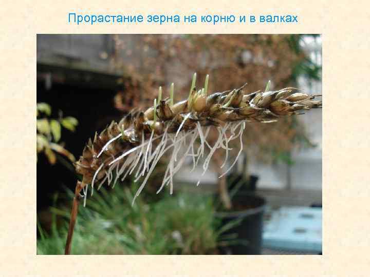 Прорастание зерна на корню и в валках