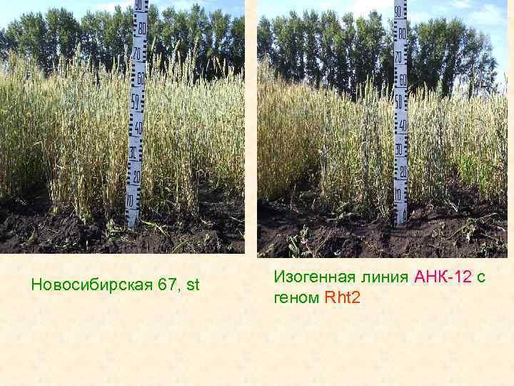 Новосибирская 67, st Изогенная линия АНК-12 с геном Rht 2