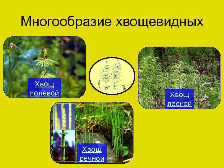 Многообразие хвощевидных Хвощ полевой Хвощ лесной Хвощ речной