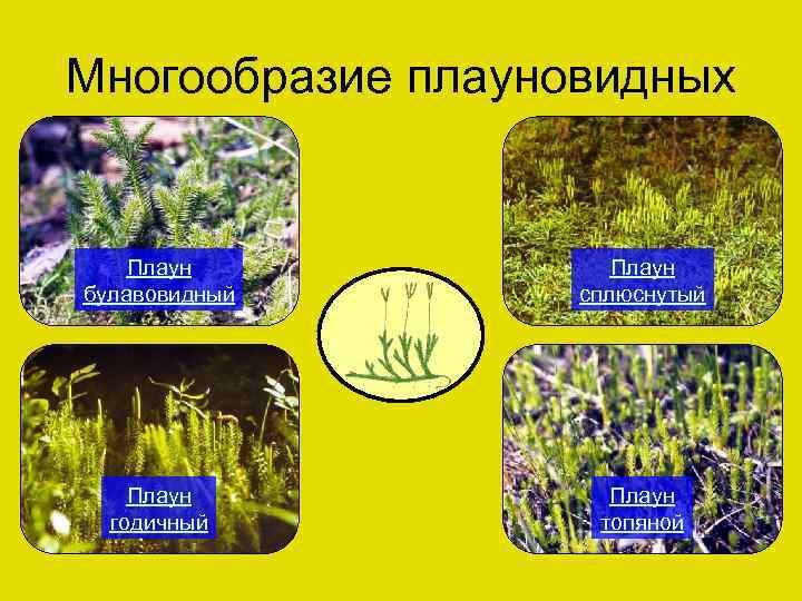 Многообразие плауновидных Плаун булавовидный Плаун сплюснутый Плаун годичный Плаун топяной