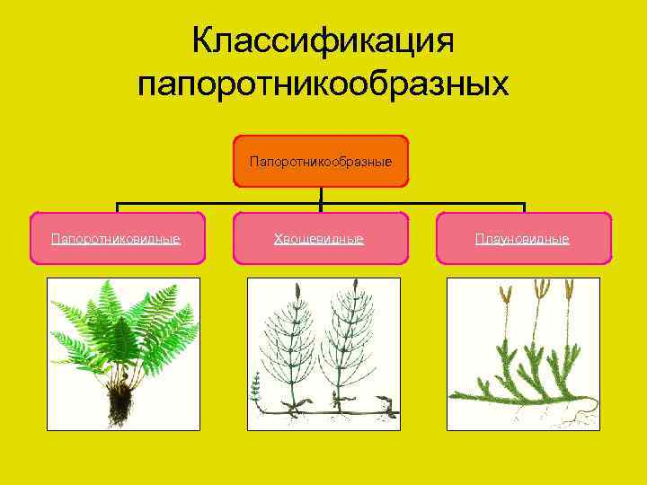 Классификация папоротникообразных Папоротникообразные Папоротниковидные Хвощевидные Плауновидные