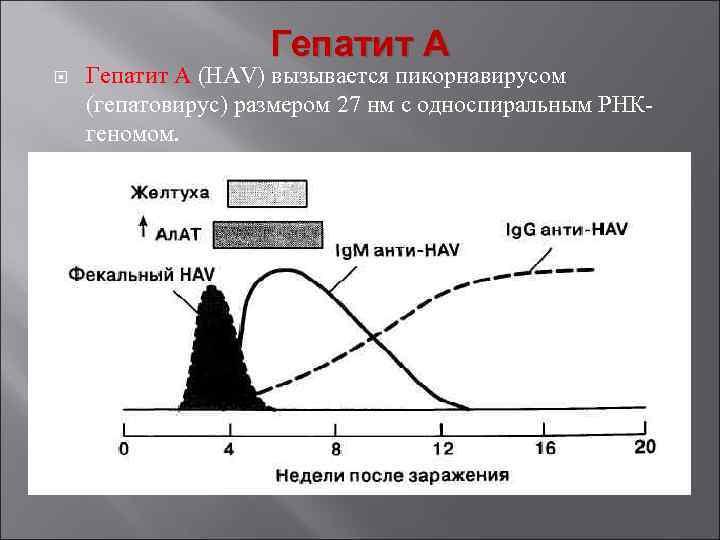 Гепатит А Гепатит A (HAV) вызывается пикорнавирусом (гепатовирус) размером 27 нм с односпиральным РНК