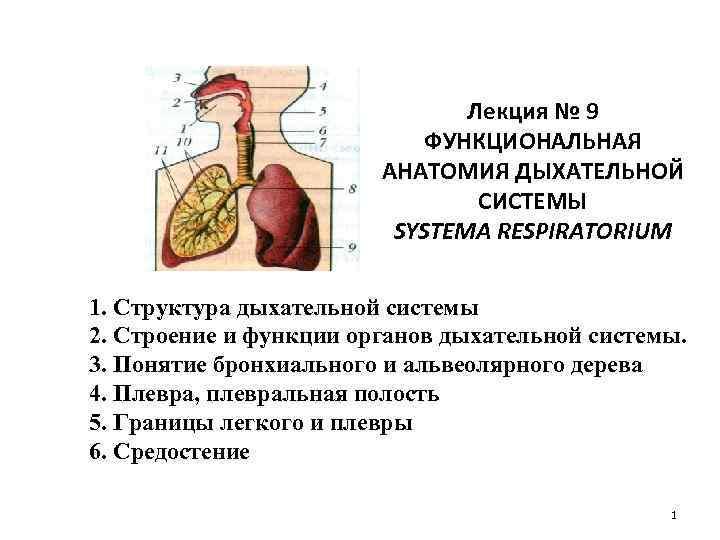 Лекция № 9 ФУНКЦИОНАЛЬНАЯ АНАТОМИЯ ДЫХАТЕЛЬНОЙ СИСТЕМЫ SYSTEMA RESPIRATORIUM 1. Структура дыхательной системы 2.