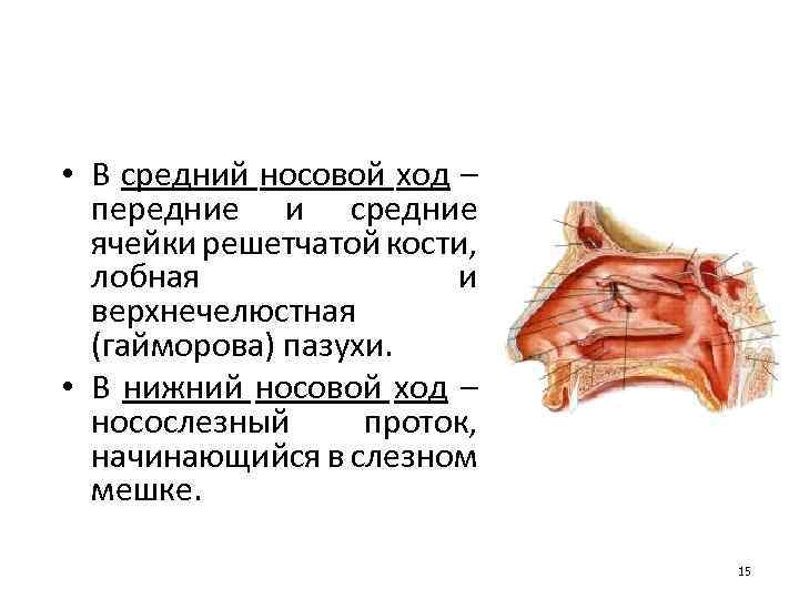 • В средний носовой ход – передние и средние ячейки решетчатой кости, лобная