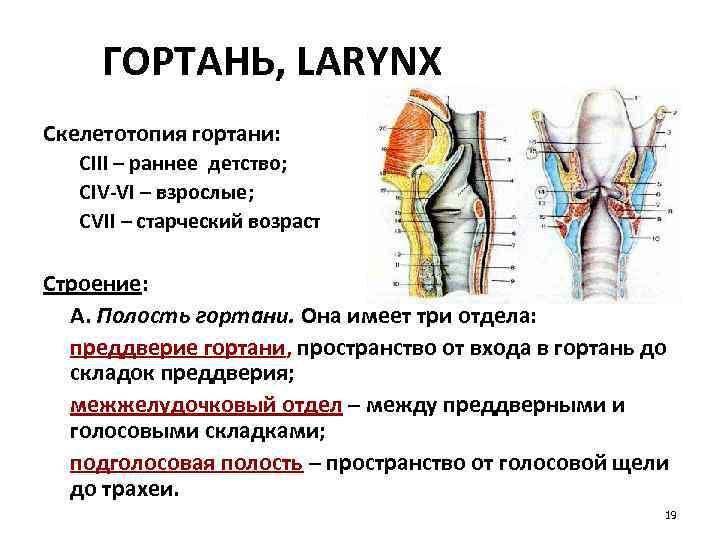 ГОРТАНЬ, LARYNX Скелетотопия гортани: СIII – раннее детство; CIV-VI – взрослые; CVII – старческий