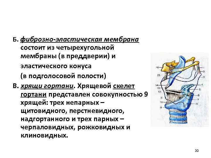 Б. фиброзно-эластическая мембрана состоит из четырехугольной мембраны (в преддверии) и эластического конуса (в подголосовой