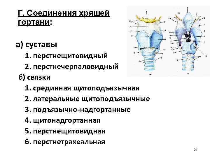 Г. Соединения хрящей гортани: а) суставы 1. перстнещитовидный 2. перстнечерпаловидный б) связки 1. срединная