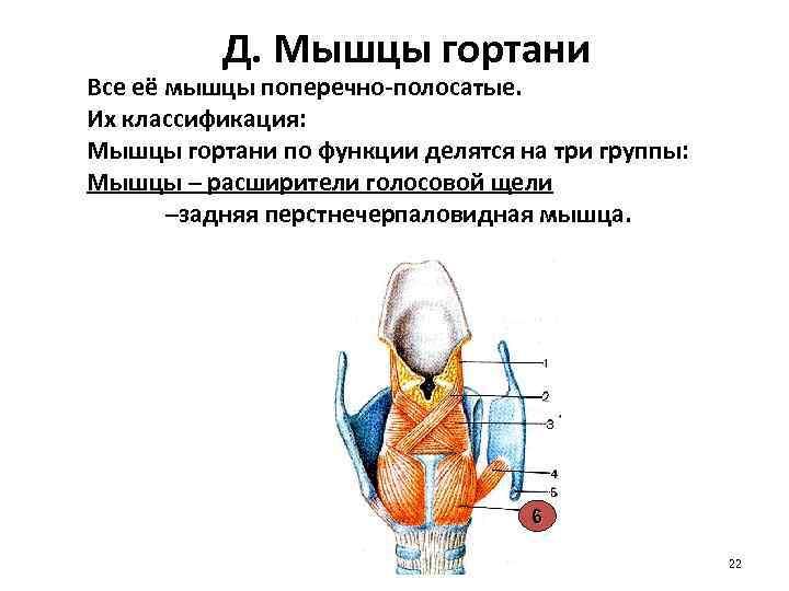 Д. Мышцы гортани Все её мышцы поперечно-полосатые. Их классификация: Мышцы гортани по функции делятся