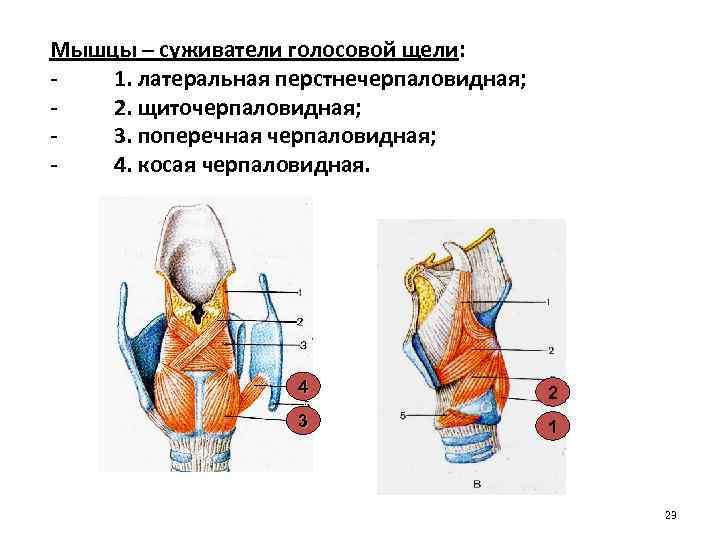Мышцы – суживатели голосовой щели: 1. латеральная перстнечерпаловидная; 2. щиточерпаловидная; 3. поперечная черпаловидная; 4.