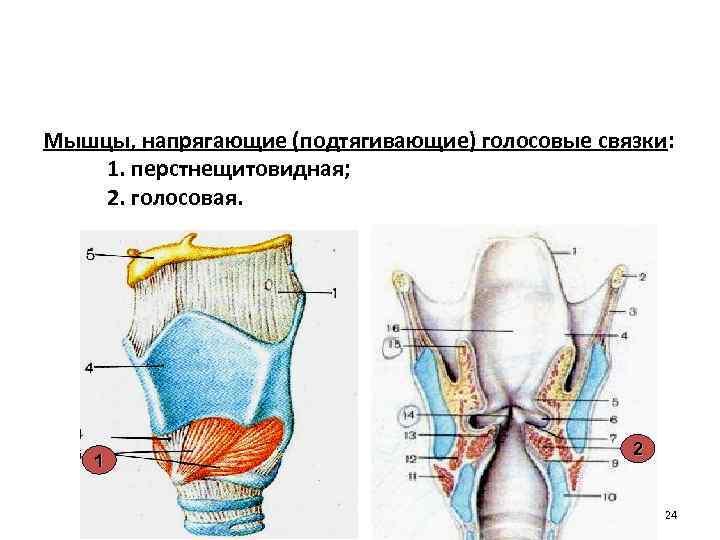 Мышцы, напрягающие (подтягивающие) голосовые связки: 1. перстнещитовидная; 2. голосовая. 1 2 24