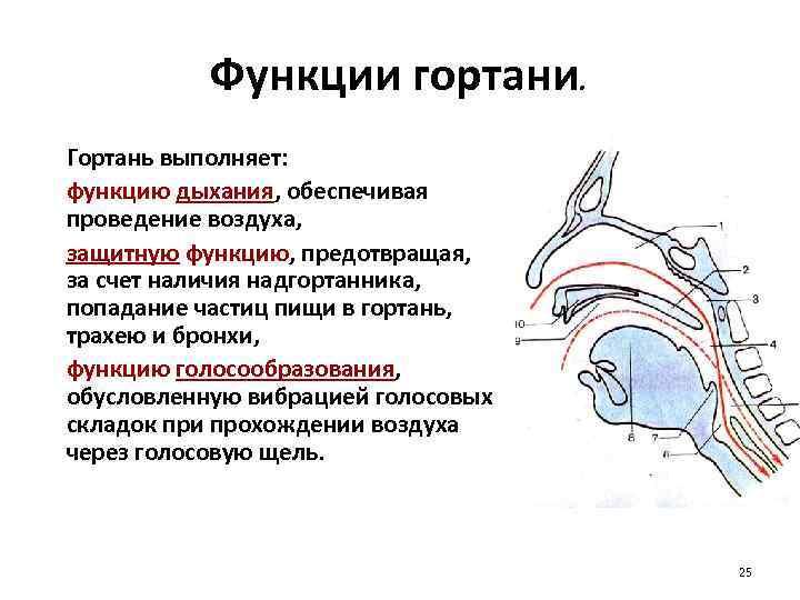 Функции гортани. Гортань выполняет: функцию дыхания, обеспечивая проведение воздуха, защитную функцию, предотвращая, за счет