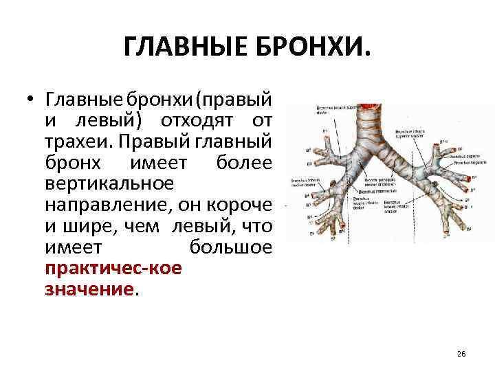 ГЛАВНЫЕ БРОНХИ. • Главные бронхи (правый и левый) отходят от трахеи. Правый главный бронх