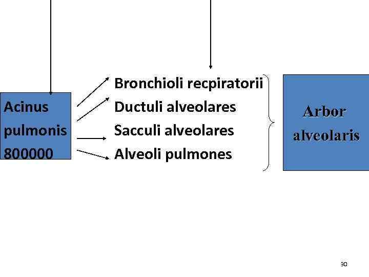 Acinus pulmonis 800000 Bronchioli recpiratorii Ductuli alveolares Sacculi alveolares Alveoli pulmones Arbor alveolaris 30
