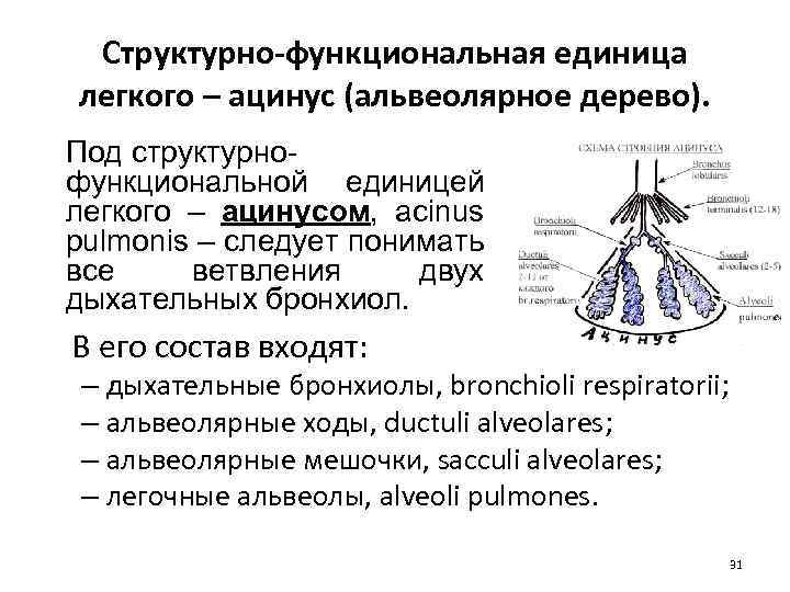 Структурно-функциональная единица легкого – ацинус (альвеолярное дерево). Под структурнофункциональной единицей легкого – ацинусом, acinus